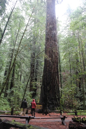 redwoods in awe, redwoods misty, redwoods looking up, redwoods feeling small, redwoods romantic, sonoma in december