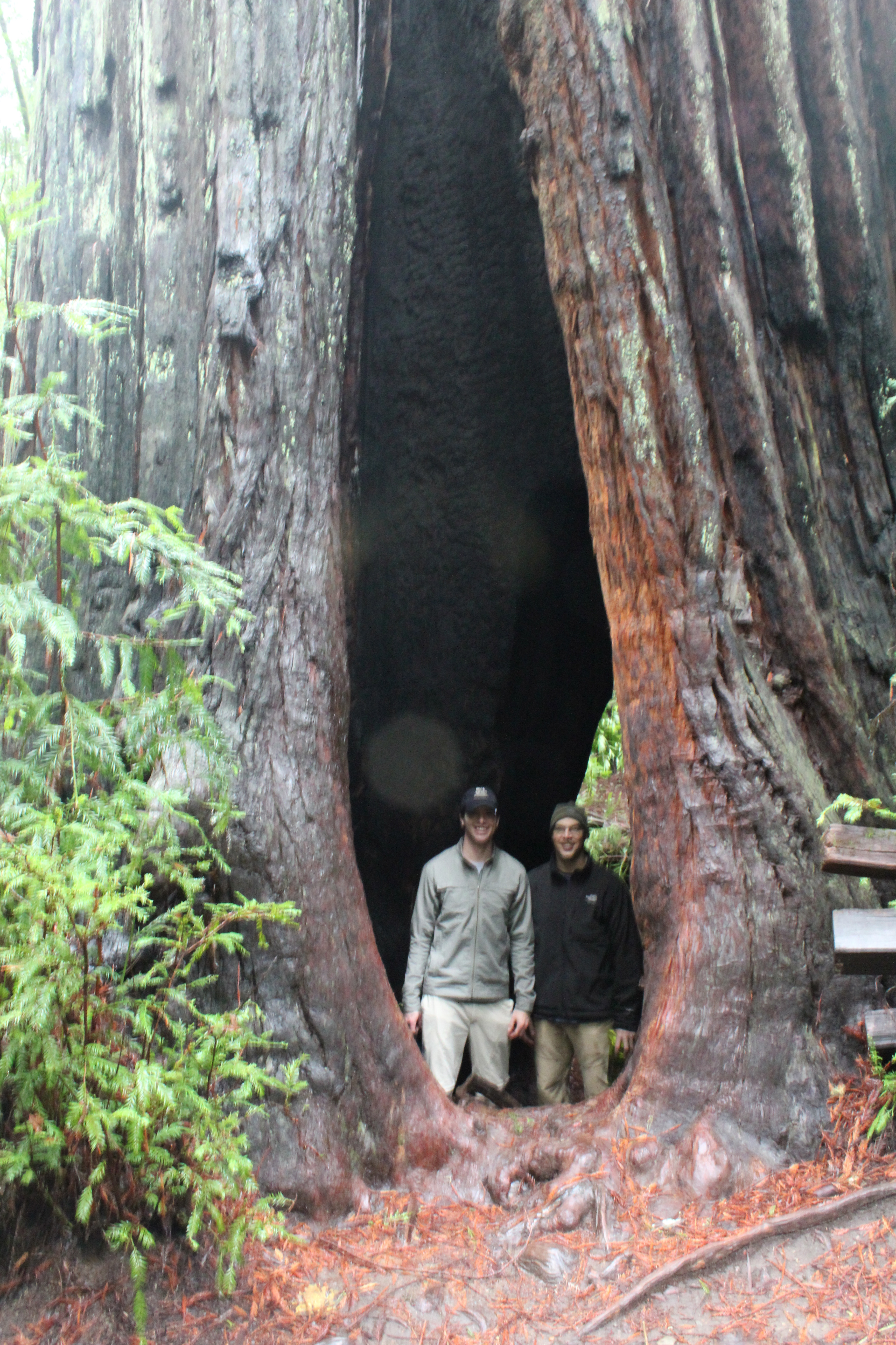 redwoods in awe, redwoods misty, redwoods feeling small, sonoma in december