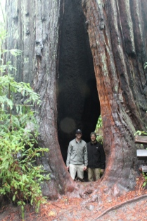 redwoods in awe, redwoods misty, redwoods feeling small, sonoma in december