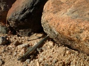 joshua tree in december, Joshua Tree National Park lizard