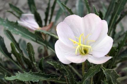 South Dakota flower, flower in the desert