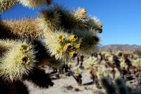 joshua tree cactus, cholla cactus, mojave desert