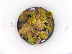 Turtle Lake Wisconsin, wisconsin bullfrogs