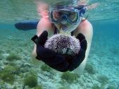 Barbados snorkeling, barbados urchin