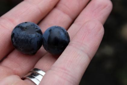 Sonoma wine country, sonoma grapes, sonoma vineyard
