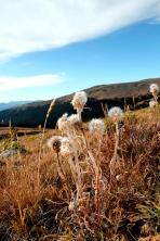 Colorado wildflowers, Colorado in September, wildflowers above treeline