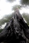 California redwood, Armstron Grove redwoods, redwoods looking up