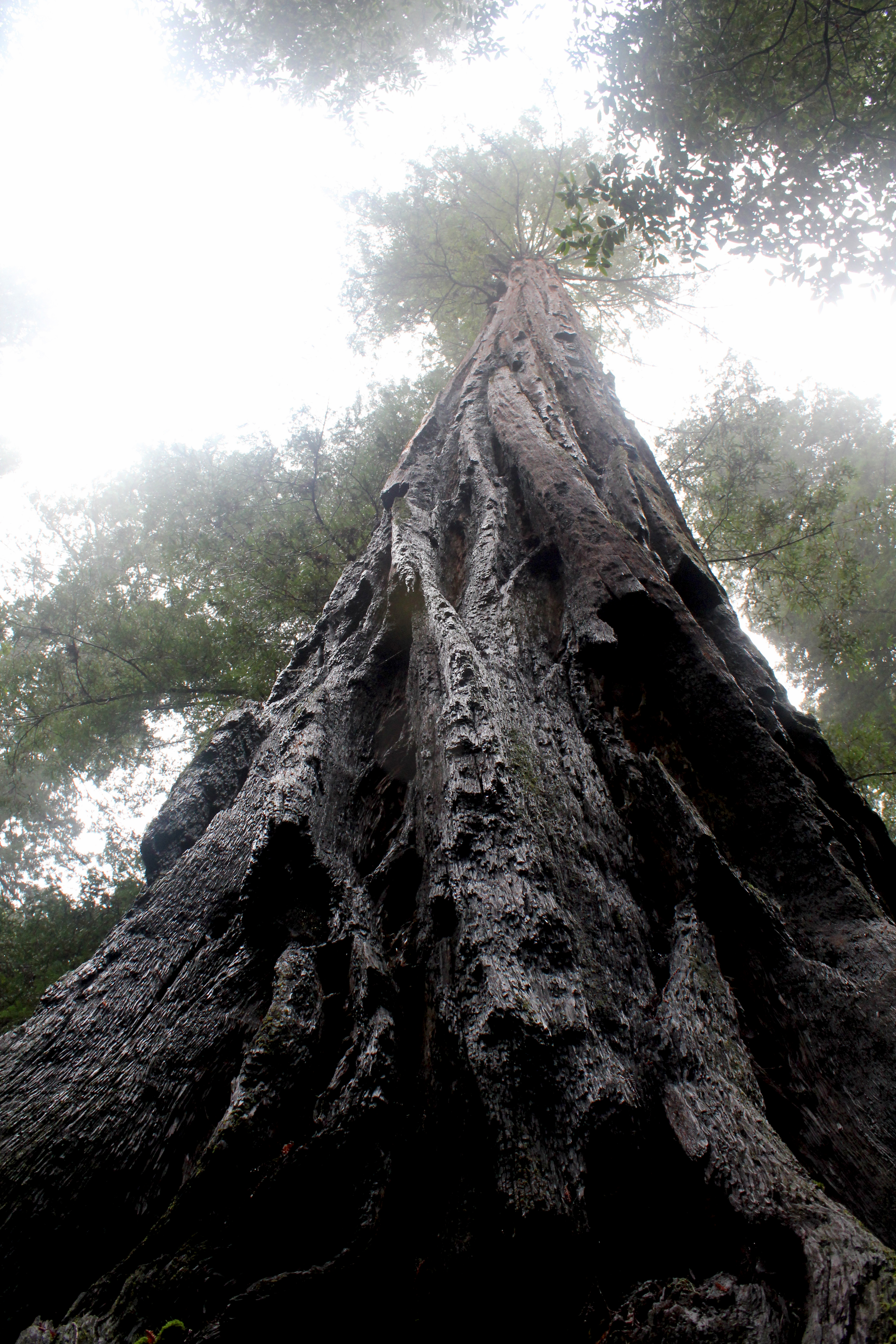 California redwood, Armstron Grove redwoods, redwoods looking up