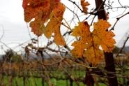 Winter in Sonoma, winter in wine country