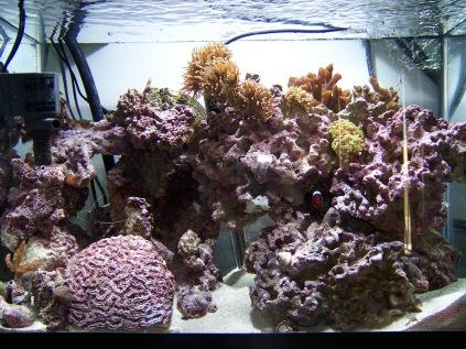 20 gallon high mixed reef, corraline algae