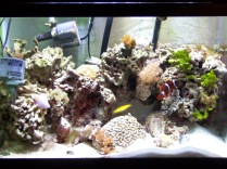 20 gallon high mixed reef, aquarium, maroon clownfish