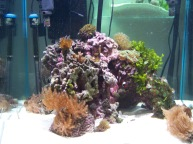 60 gallon cube mixed reef aquarium, mixed reef, maroon clown