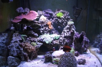 60 gallon cube potters angel, 60 gallon cube mixed reef