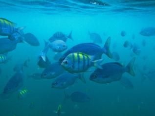 Barbados snorkeling, school of fish