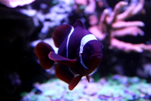 maroon clownfish, adult