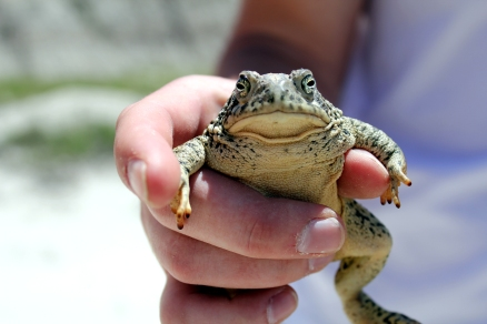 Bufo americanus, South Dakota amphibians