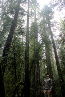 California, forest, Armstrong Woods redwoods