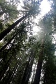California, Armstrong Grove redwoods, forest
