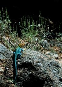 Colorado, reptile, lizard sunning, collared lizard sunning