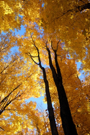 Wisconsin fall colors, wisconsin woods, gold leaves, autumn in wisonsin