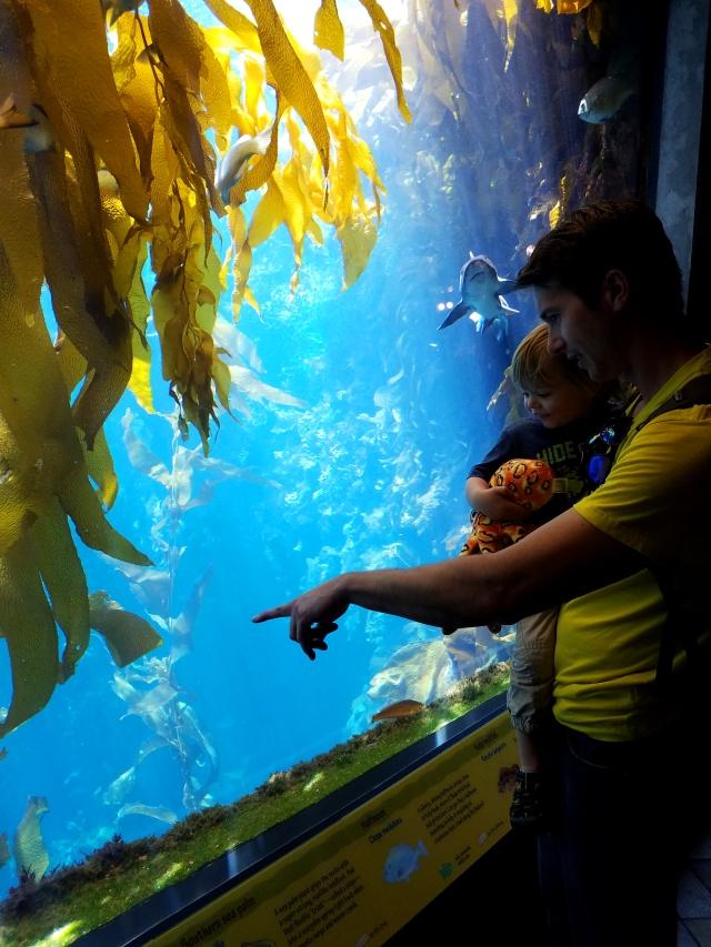 monterey, montereyca, californiaaquarium, california, montereybay, kelp, shark