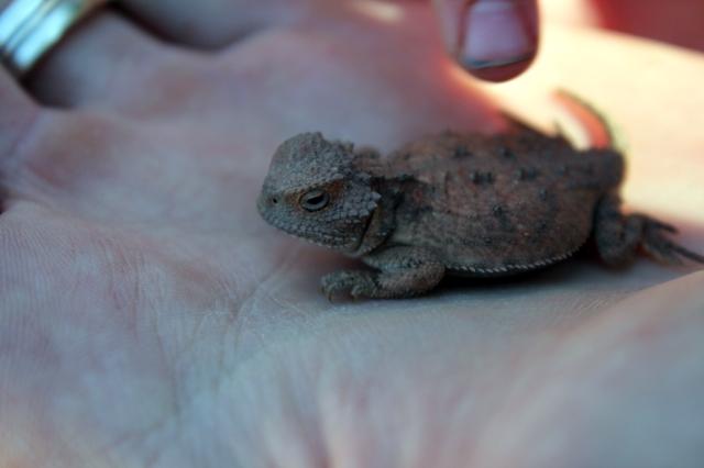 lizard, horytoad, reptile, desert, grandcayon, az