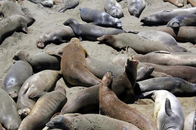 elephantseals, sansimeonca, california, ca, bigsur, ocean, pacific, epicroadtrip