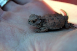 baby horned lizard, repitle, herpetology, desert, grand canyon, grand canyon camping, car camping, grand canyon backcountry