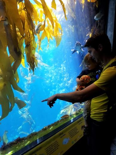 father and son, monterey, monterey bay, aquarium, leopard shark, kelp forest, kelp tank, kelp aquarium