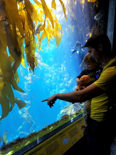 father and son, monterey, monterey bay, aquarium, leopard shark, kelp forest, kelp tank, kelp aquarium